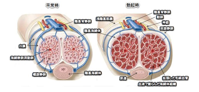 海綿体は毛細血管の集合体で組織されています。